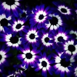 artnorama - Purple Blossom