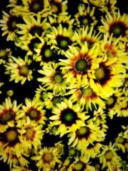 artnorama - Summer Chrysanthemum