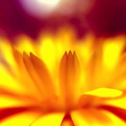 artnorama - Blossom King