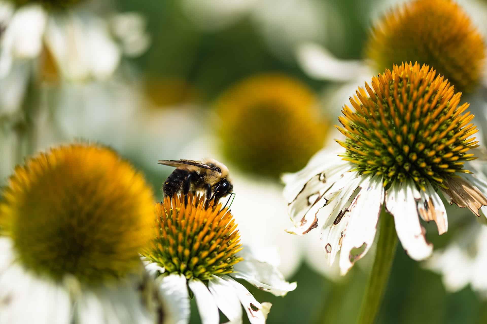 artnorama - Harvesting Bumblebee