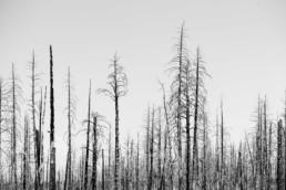 artnorama - Dead Trees
