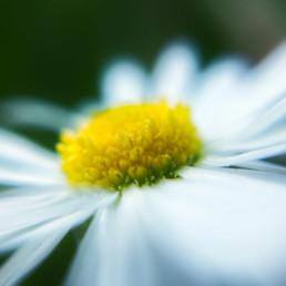 artnorama - Daisy